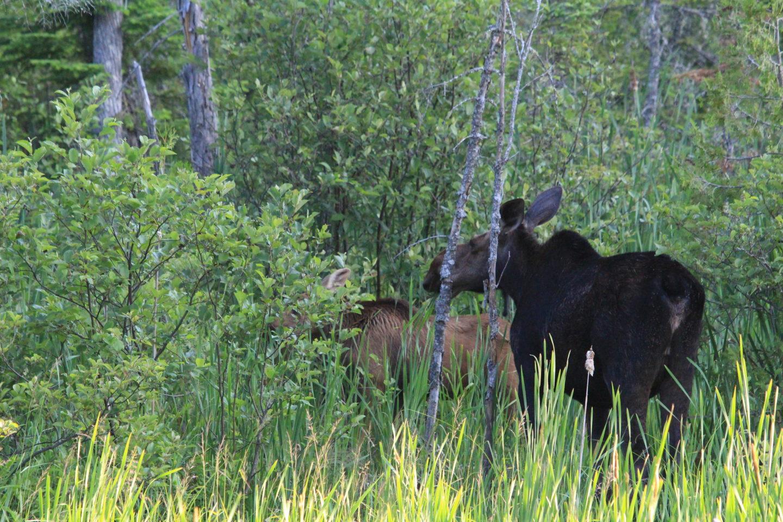 moose, algonquin park